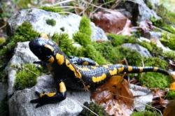 salamandre-2017